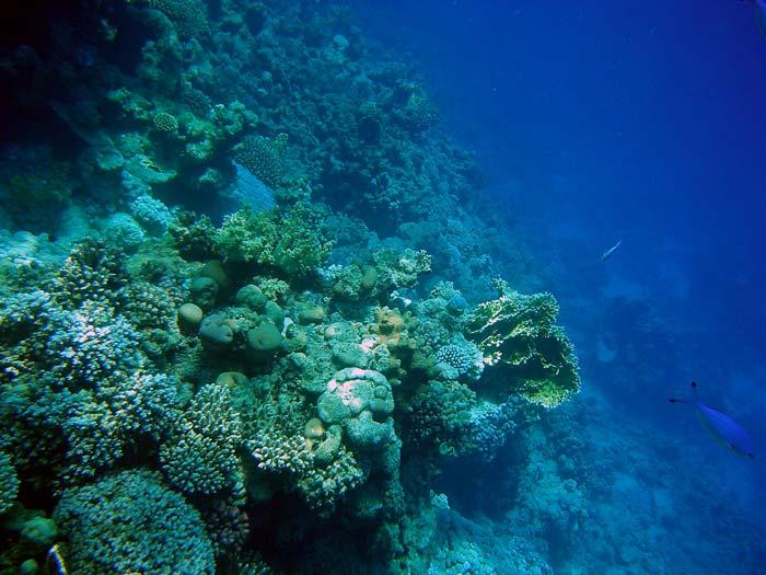 Koralvæg i Sharm el Sheikh