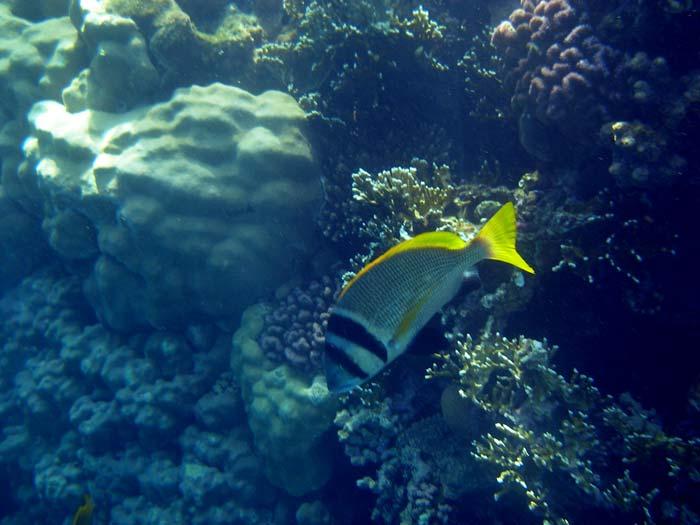 Doublebar bream i Sharm el Sheikh