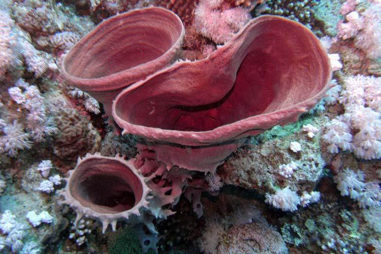 En røde tube svamp i Dahab