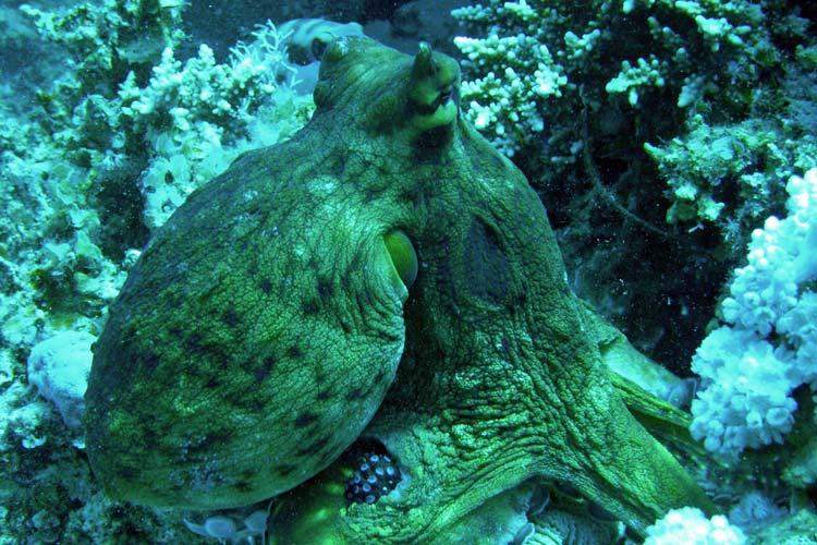 Blæksprutte i Dahab
