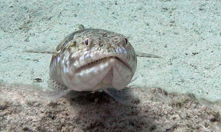 En sej lizardfisk i Dahab