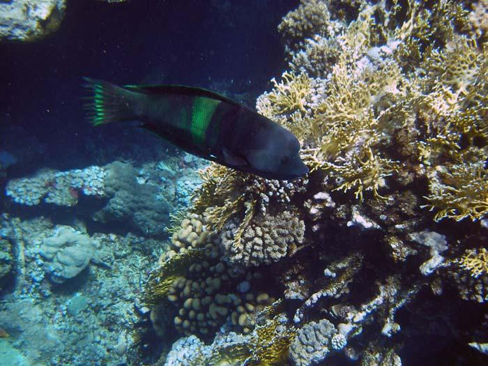 Flot sort fisk og koraller ved Jackfish Alley i Ras Mohamed