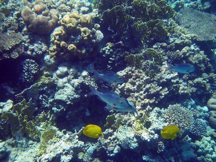 Fisk og koraller ved Anemone City i Ras Mohamed