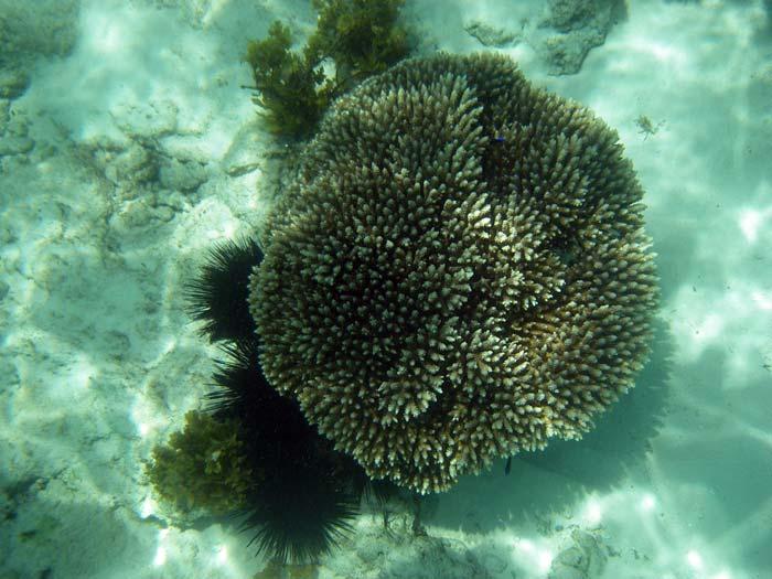 Koral ved Anse Royale