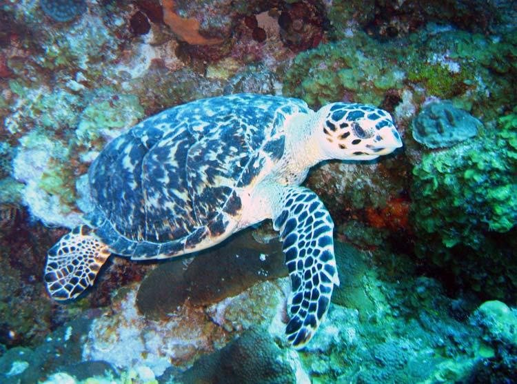 Lille havskildpadde ved West Caicos