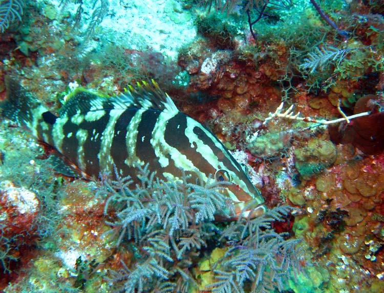 Nassau grouper ved West Caicos