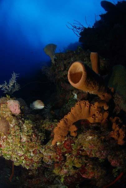 Svampe ved Cayman Islands
