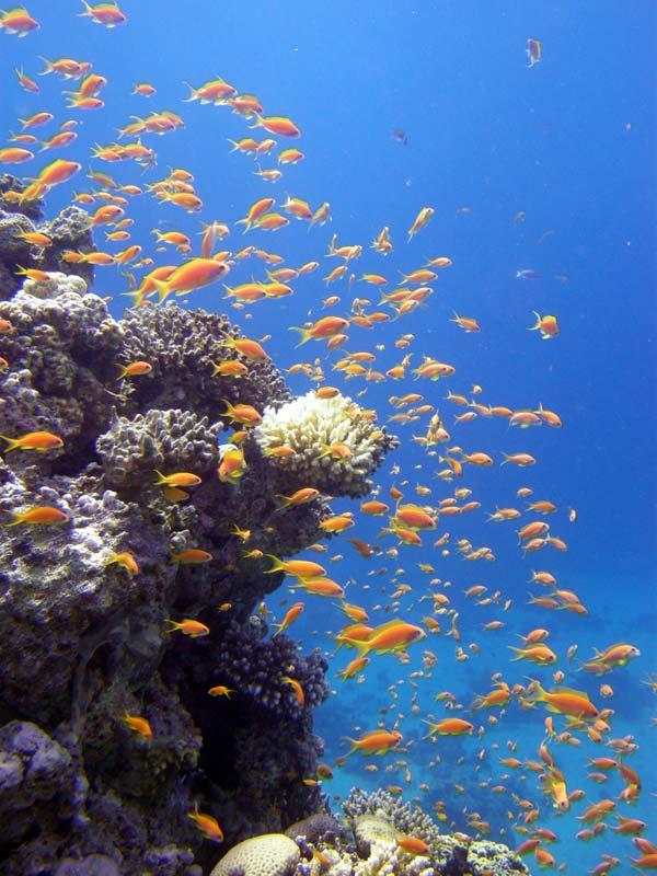 Koraller og fisk i Dahab