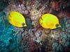 Sommerfuglefisk ved Shag Rock