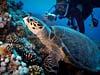 Skildpadde ved Shag Rock