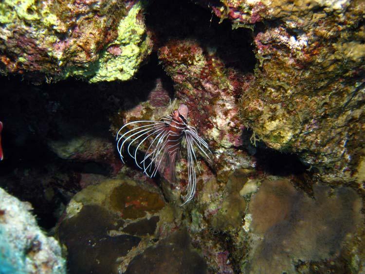 Dragefisk ved Lighthouse Reef i Dahab