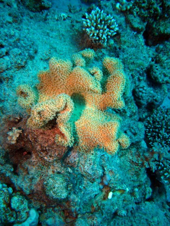 Læderkoral ved  Lighthouse Reef
