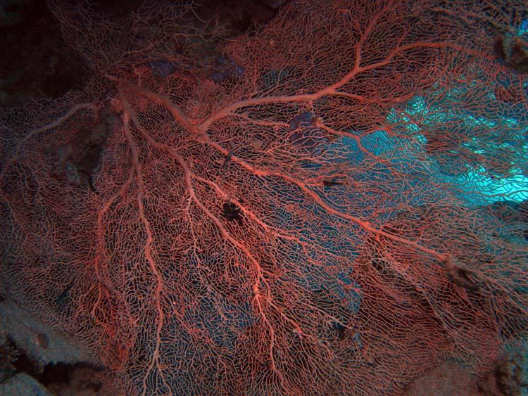 Flot viftekoral ved Lighthouse Reef i Dahab