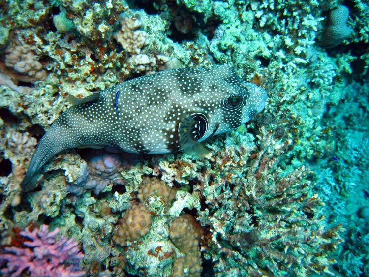 Kuglefisk ved Golden Blocks i Dahab