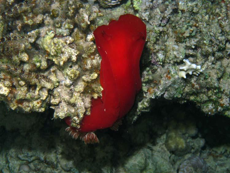 Spanish Dancer ved Lighthouse Reef