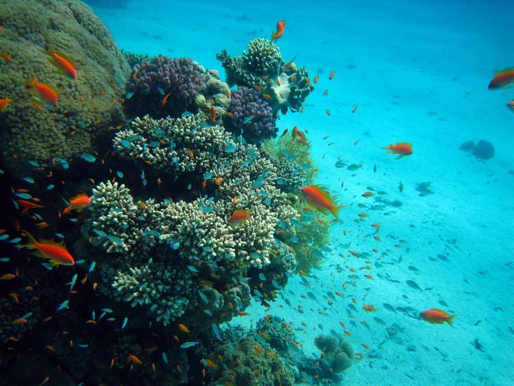 Flotte koraller ved Ras Mamlah