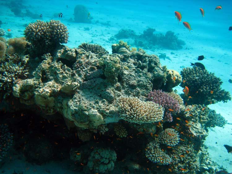 Koraller ved Ras Mamlah