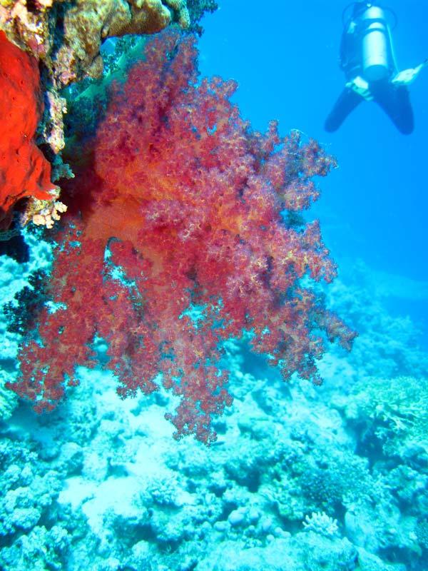 Blødkoral og dykker ved Ras Mamlah
