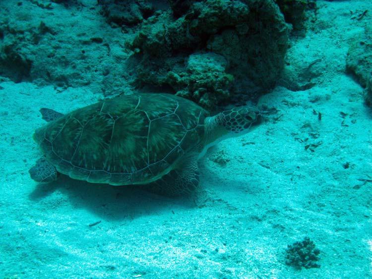 Skildpadde ved Ras Mamlah