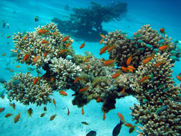 Koraller og fanebarser ved Ras Mamlah