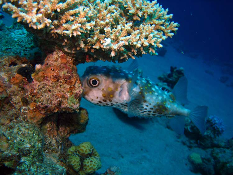 Pindsvinefisk ved Golden Blocks