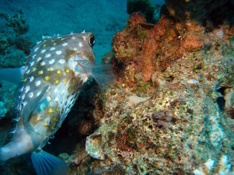 Pindsvinefisk ved Golden Blocks i Dahab