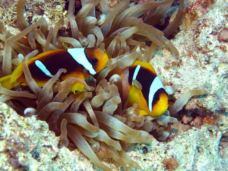 Klovnfisk ved Golden Blocks i Dahab