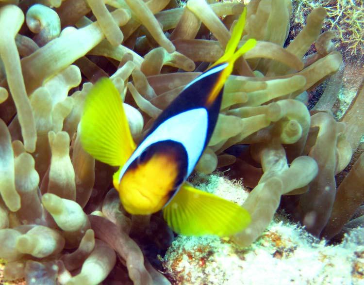 Klovnfisk ved Umm Sid i Dahab