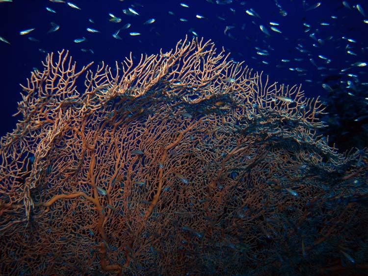 Viftekoral og glasfisk ved Mashraba Reef