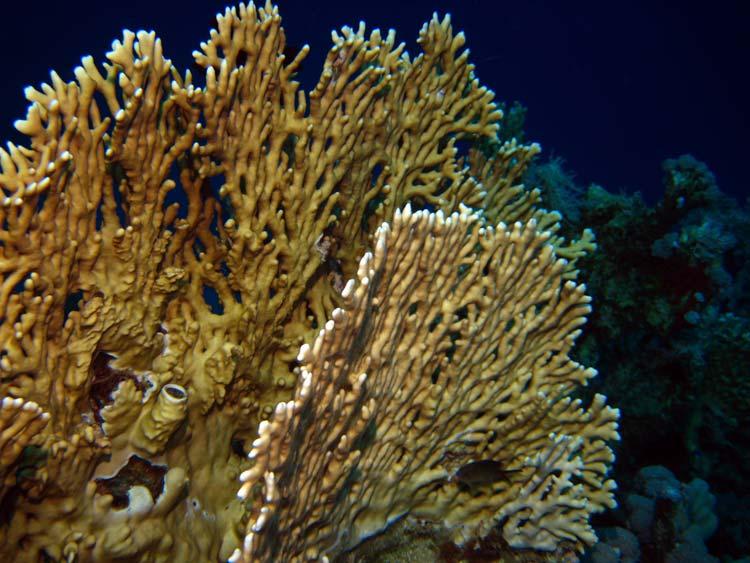 Ildkoral ved Mashraba Reef i Dahab