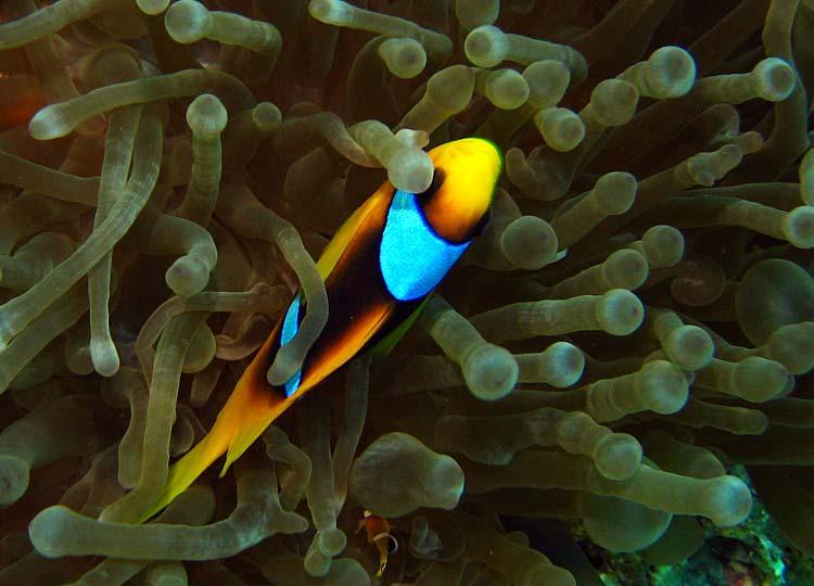 Klovnfisk ved Blue Hole i Dahab