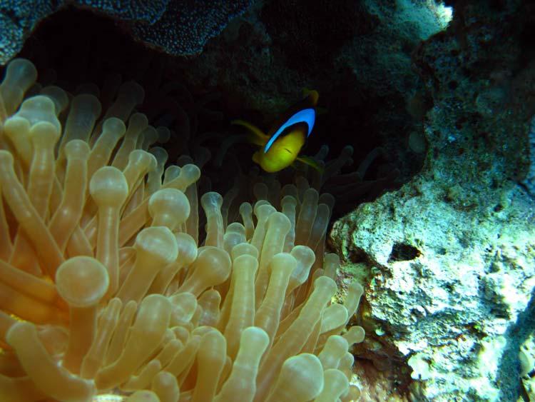 Klovnfisk og søanemone ved Gabr el Bint