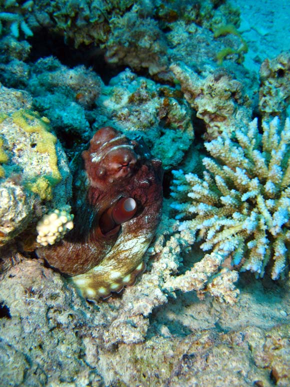 Blæksprutte ved Canyon i Dahab