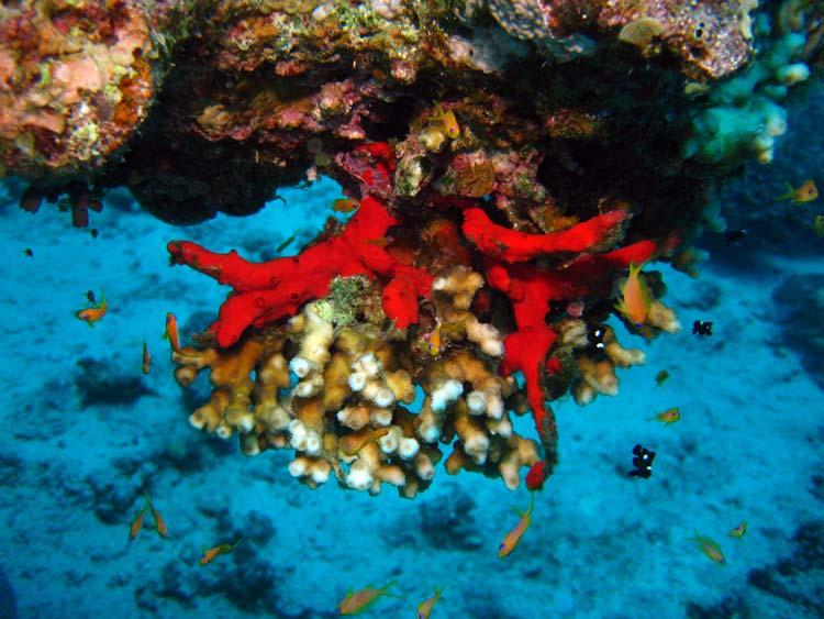 Svamp og koraller ved Canyon