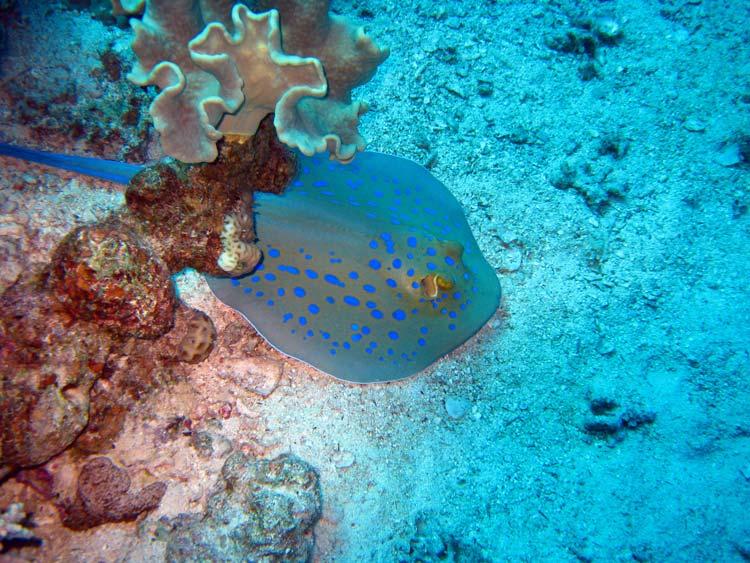 Blåplettet pilrokke ved Mashraba Reef
