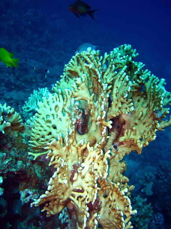 Idlkoral ved Mashraba Reef i Dahab