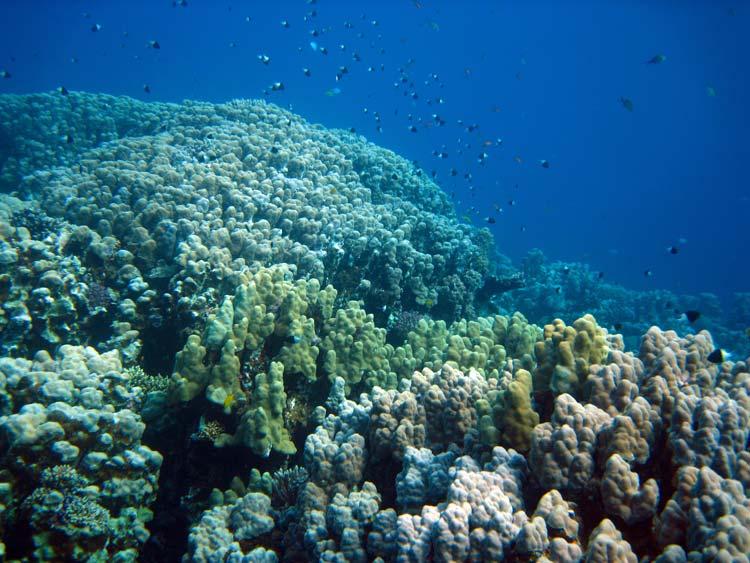Koraller ved Islands i Dahab