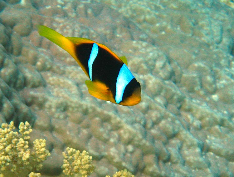 Klovnfisk ved Islands i Dahab