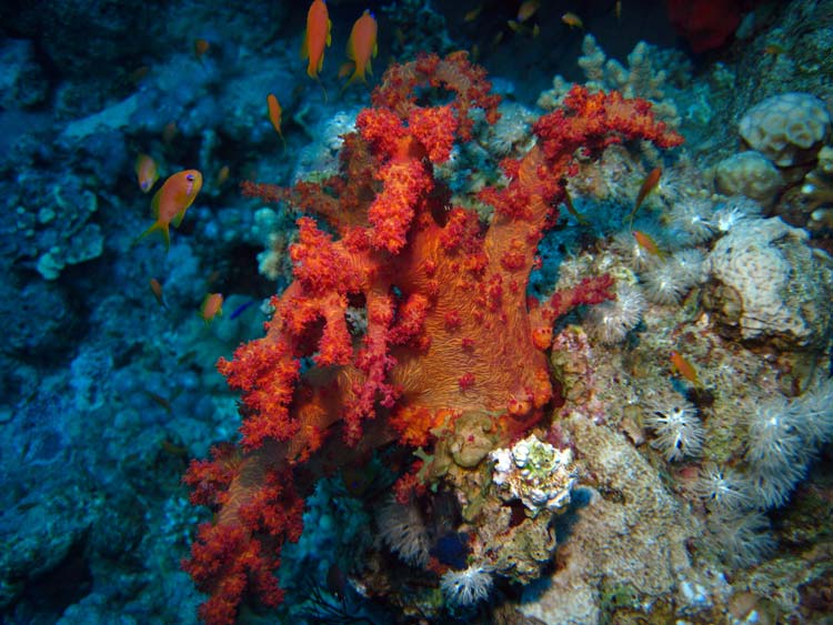 Blødkoral og fisk ved Ras Mamlah