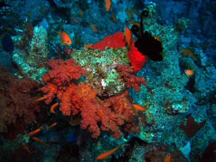 Fisk og blødkoral ved Ras Mamlah