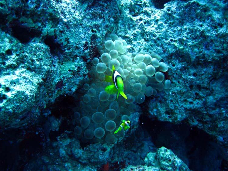 Klovnfisk ved Ras Mamlah