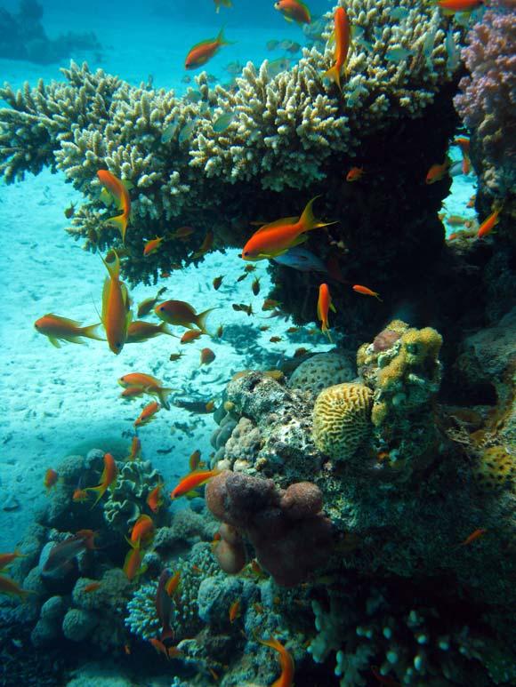 Koraller og fisk ved Ras Mamlah