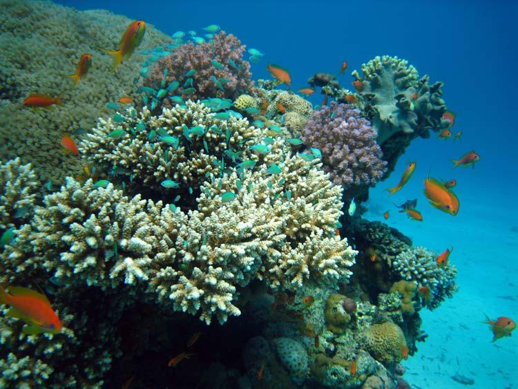 Smukt koralrev ved Ras Mamlah