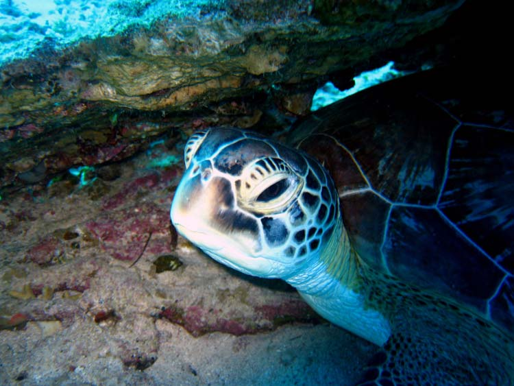 Havskildpadde ved Ras Mamlah