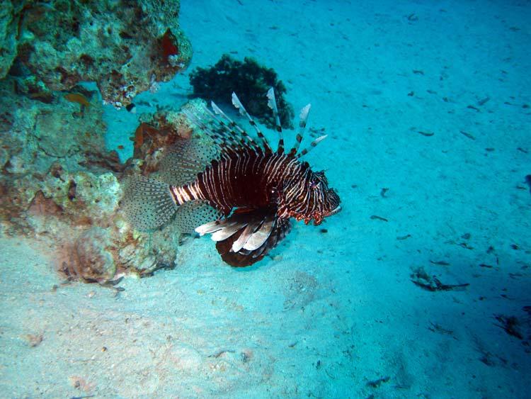 Dragefisk ved Ras Mamlah
