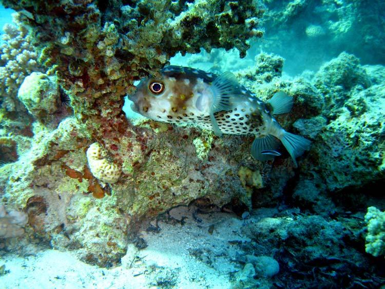 Pindsvinefisk ved Ras Mamlah