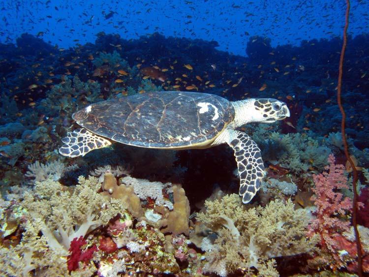 Havskildpadde ved Elphinstone Reef