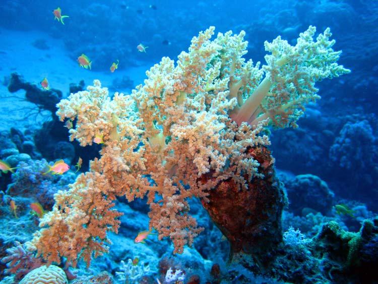 Blødkoral ved Lighthouse Reef i Dahab