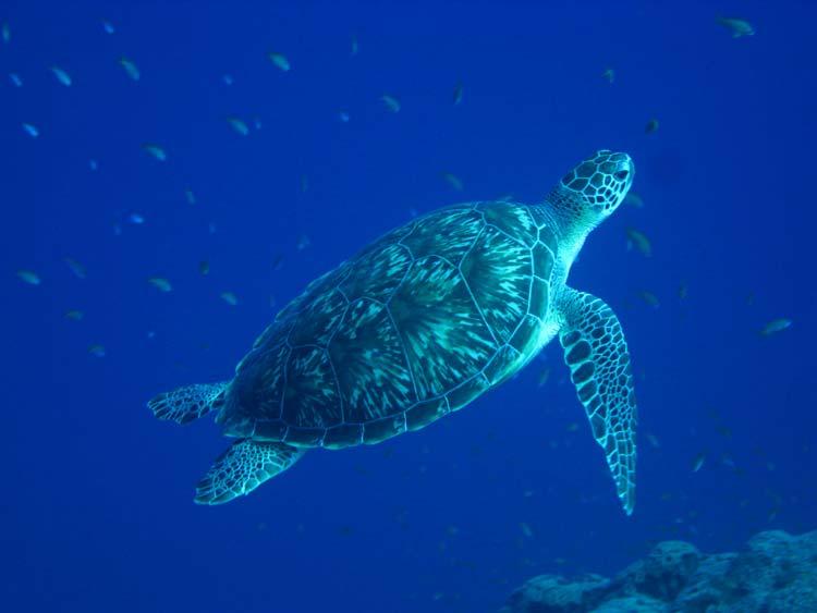 Havskildpadde ved Golden Blocks i Dahab