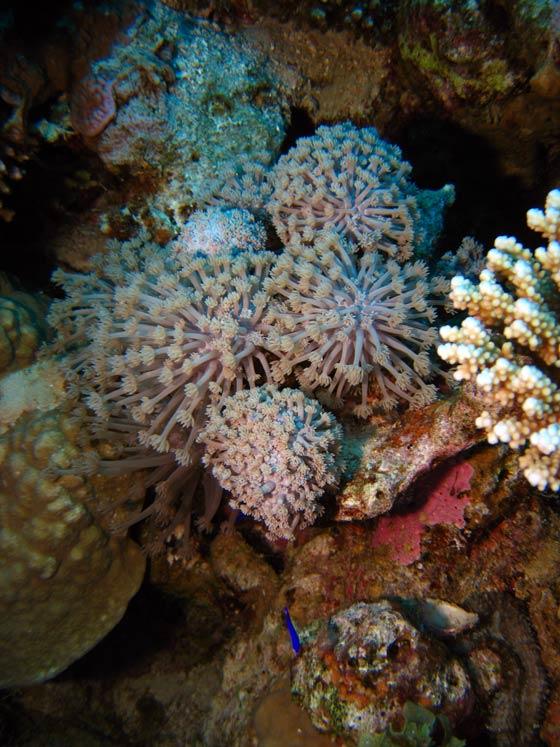 Smukke koraller ved Gabr el Bint